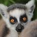 ringtailed lemur Apenheul 094A0278