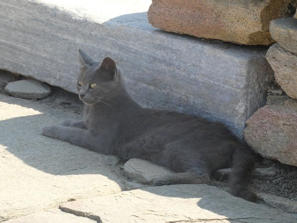 chat gris à délos