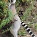 ringtailed lemur Apenheul 094A0223