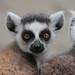 ringtailed lemur Apenheul 094A0235