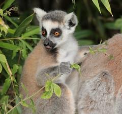 ringtailed lemur Apenheul 094A0273