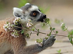 ringtailed lemur Apenheul 094A0283