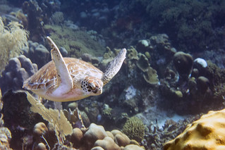 sea turtle Bonaire 2019 Underwater_08 05 19_0239