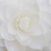 White Camellia (III), 4.13.18
