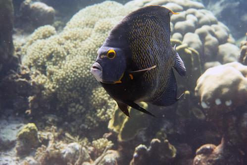 french angelfish Bonaire 2019 Underwater_08 05 19_0248