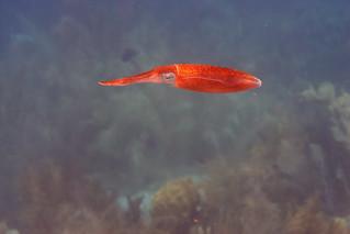 caribbean squid Bonaire 2019 Underwater_08 07 19_0204