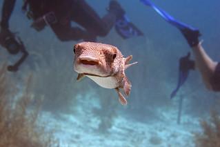 balloonfish and divers Bonaire 2019 Underwater_08 05 19_0271