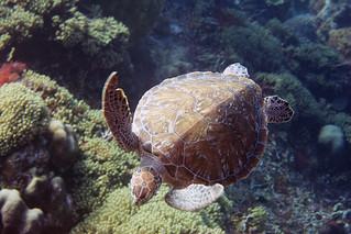 sea turtle Bonaire 2019 Underwater_08 05 19_0241