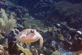 sea turtle Bonaire 2019 Underwater_08 05 19_0238