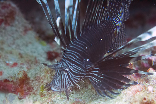 lionfish Bonaire 2019 Underwater_08 08 19_0194
