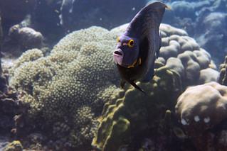french angelfish Bonaire 2019 Underwater_08 05 19_0247