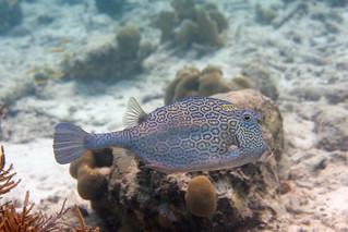 cowfish Bonaire 2019 Underwater_08 05 19_0256