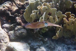 caribbean squid Bonaire 2019 Underwater_08 07 19_0212