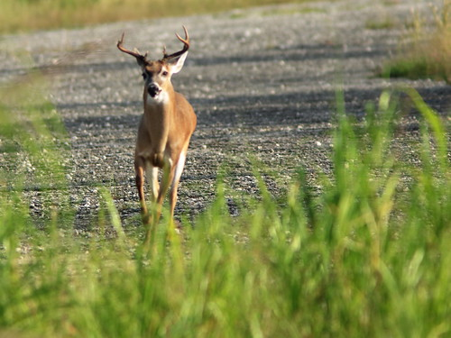 White-tail buck approaching 02-20190818