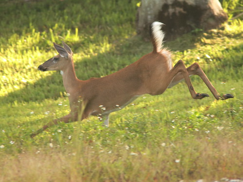 White-tail doe fleeing 095-20190818