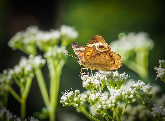 Buckeye Butterfly on Boneset
