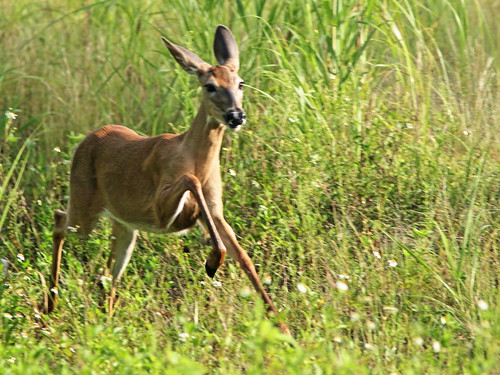 White-tail doe coming towards me 04-20190818