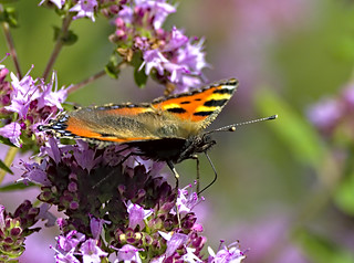 Small Tortoiseshell 3 18 Aug 2019