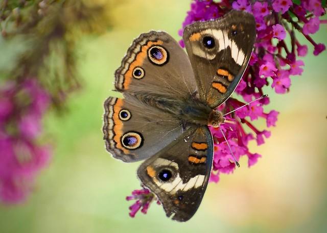 Common Buckeye Butterfly: by Jim Swartwood 8/14/19 Jefferson County KY