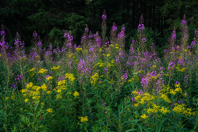 Wildflowers in Black Forest