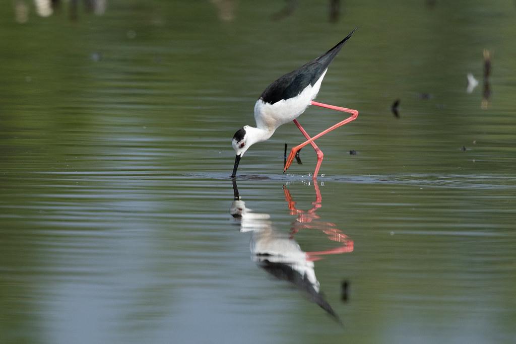 Black-winged Stilt (Himantopus himantopus) Steltkluut