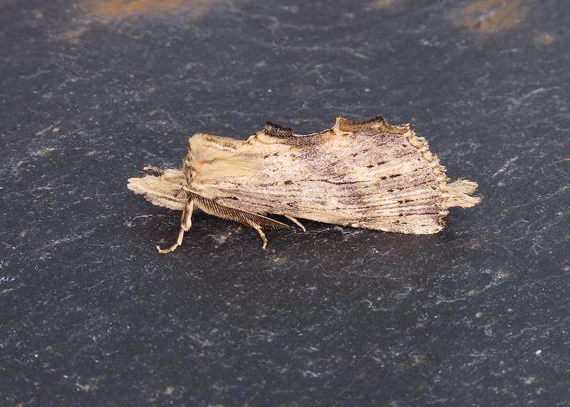 71.020 Pale Prominent - Pterostoma palpina