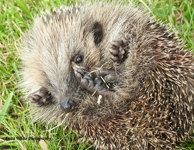 Rescued Hoglet (Willow)