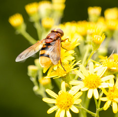 Yellow hover fly