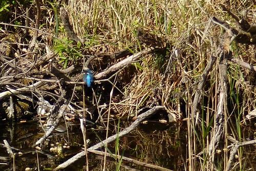 A kingfisher!