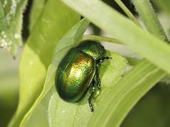 Tansy Beetle - Chrysolina graminis