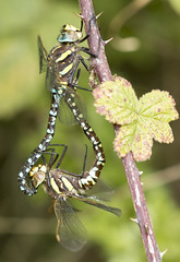 Mating dragonflies 1