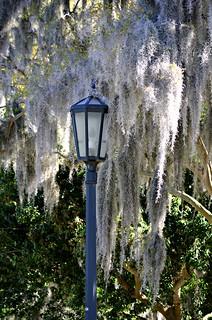 Spanish Moss with Streetlight