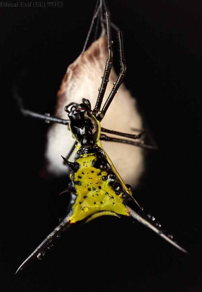 Spiny orbweaver (Micrathena sp.)