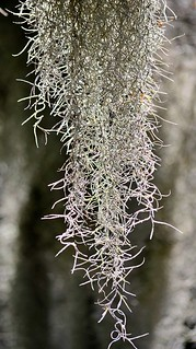Spanish Moss Connections