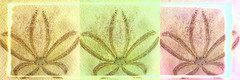sand dollar tryptych pismobeach petaloid macro sliders sunday