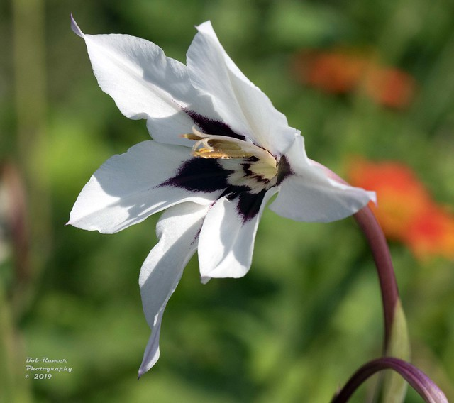 Fragrant Gladiolus.