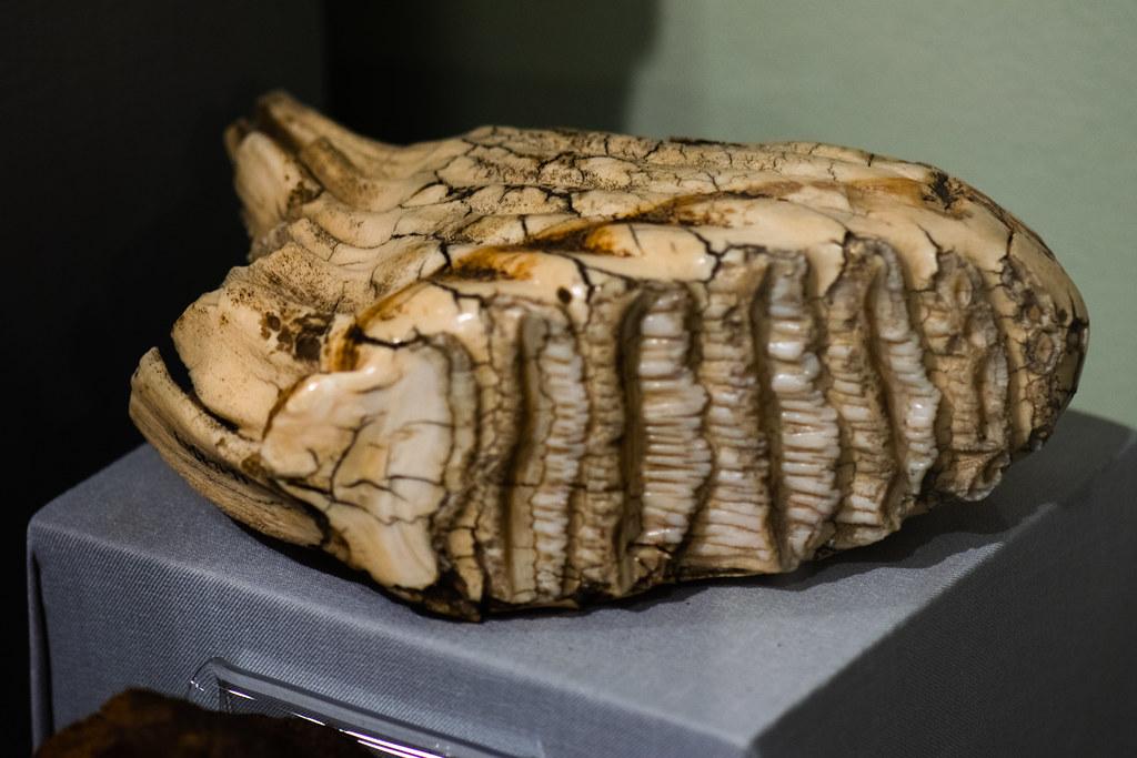 Mammoth molar