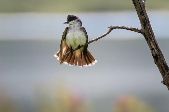 Easten Kingbird Showing Off