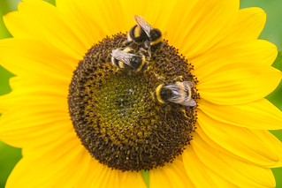 Bees on a sunflowers