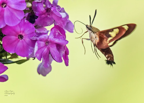 Hummingbird Clearwing Moth on Cone Flowers V