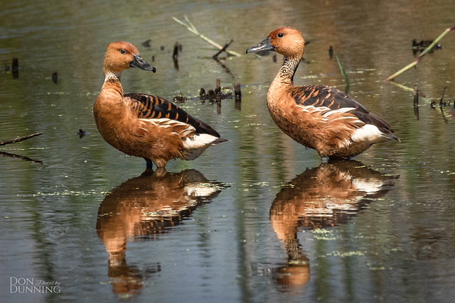 Fulvous Whistling Ducks (Dendrocygna bicolor)