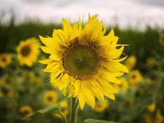Sunflowers (III)
