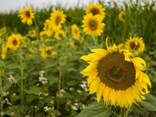 Sunflowers (I)