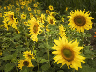 Sunflowers (II)