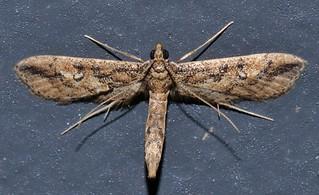 Aeroplane wing moth Hydriris chalybitis Spilomelinae Crambidae Mandalay rainforest Airlie Beach P1000927