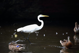egret walking with ducks