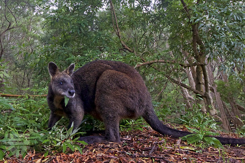 Wallaby at the Little Waterloo Bay Campground