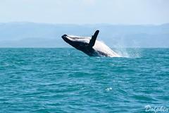 Breaching humpback Whale off the coast of Madagascar