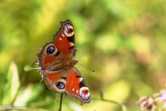 Dagpåfugløye - Peacock Butterfly (Aglais io)
