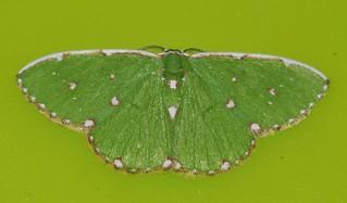 Teenas white box face spotted emerald moth Comibaena sp aff inductaria Geometridae Teenas Rainforest Airlie Beach P1022081